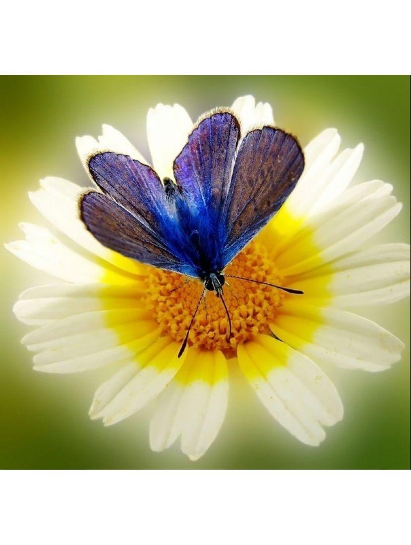 Алмазная мозаика «Бабочка на ромашке»