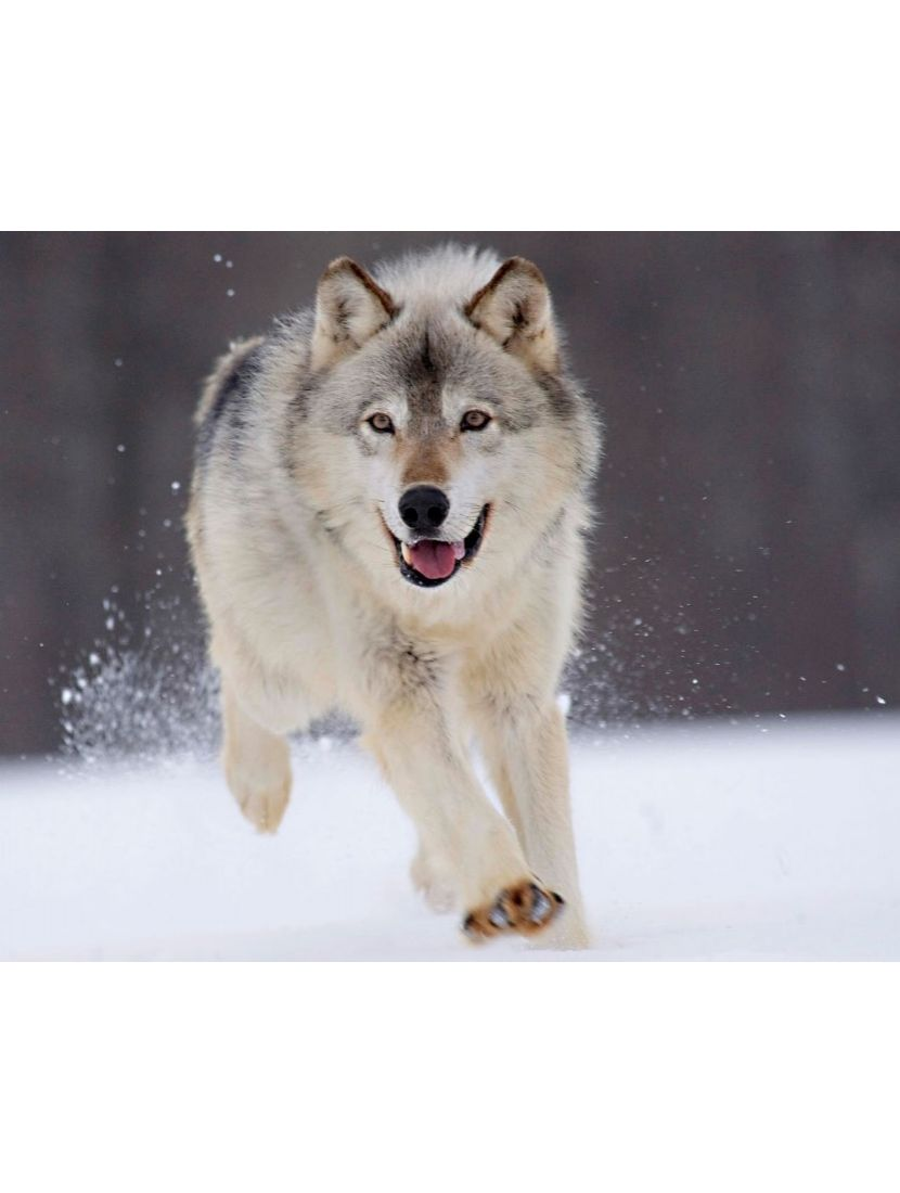 Алмазная мозаика на подрамнике «Бегущий волк»