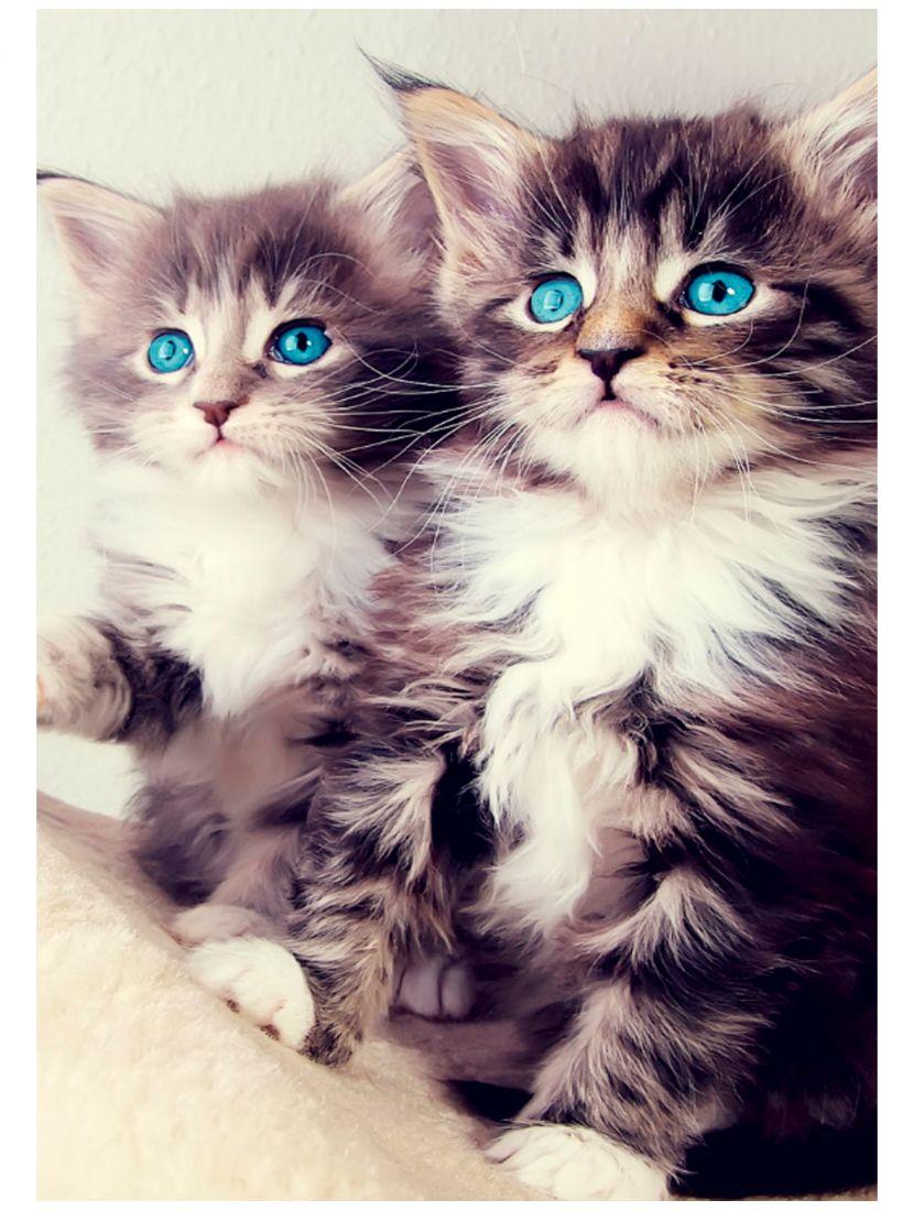 Картина по номерам «Голубоглазые котята»