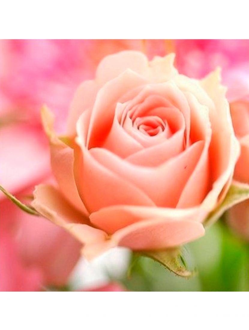 Алмазная мозаика «Просто роза»