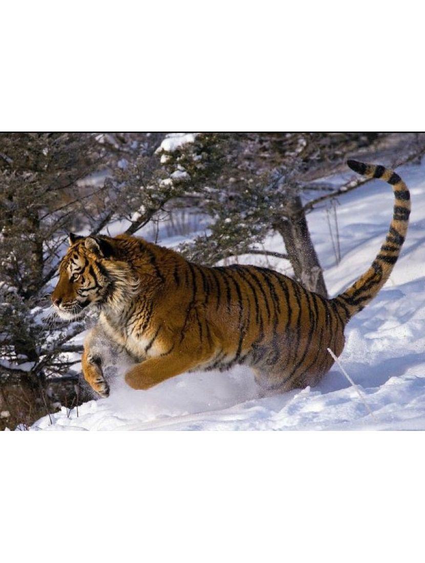Алмазная мозаика «Уссурийский тигр»
